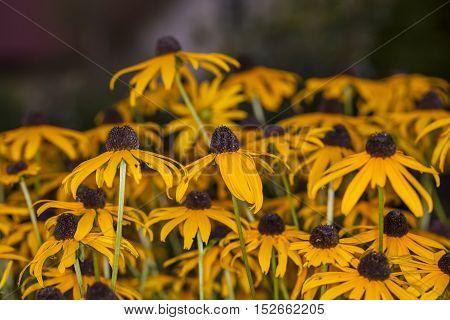 Lot Of Rudbeckia In The Garden