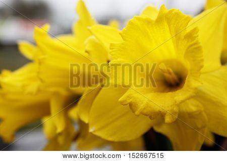 Yellow daffodil flowers closeup in home garden