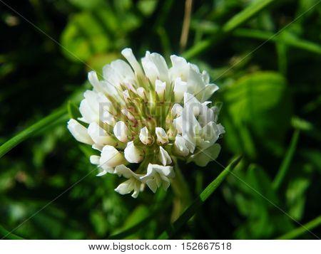 shamrock white flower  closeup on green background