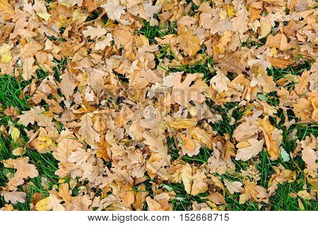 Fallen leaves on the grass. A grass lawn covered with fallen maple leaves.