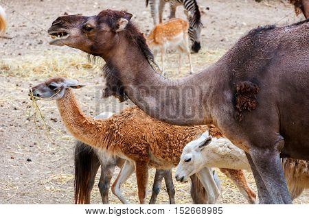 Close view of Camel and Lama in Safari Park in Costa Blanca Spain