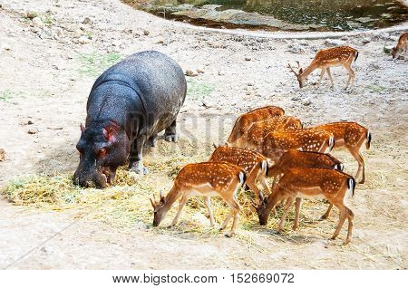 Hippopotamus surrounded with Spotted Deers. Everyone is comfortably having there Meal. Safari Park in Costa Blanca Spain