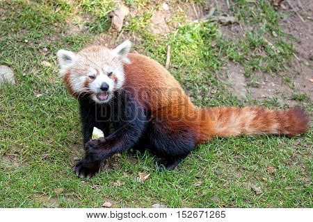 Red panda bear in a clearing in the wild