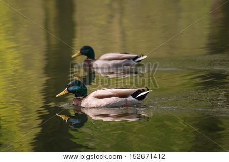Close up of two mallard ducks in a calm atmosphere