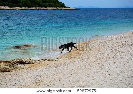Black dog pet plays on pebble beach at blue sea on sunny summer day