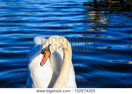 Swan Swimming In The Serpentine Lake