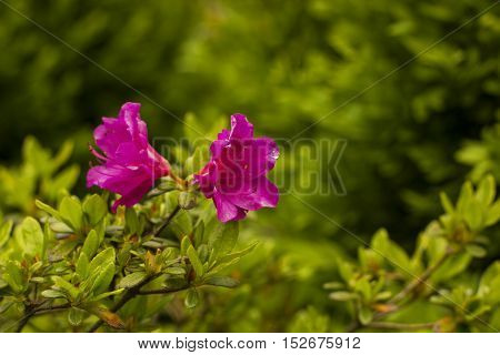 Blooming Rhododendron pink flowers in summer garden
