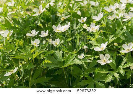 White Flowers Anemone