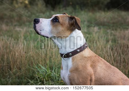 Dog sitting and looking up. American staffordshire terrier dog sitting and looking up in front of grey and brown grass on autumn day.