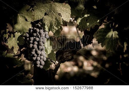 Closeup on Fresh Grapes on the Vine, France
