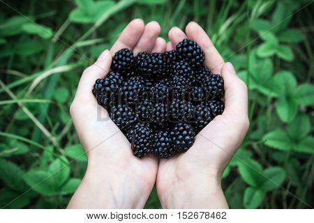 Handful of blackberries on green natural background. Female hands holding handful of fresh blackberries outdoors in front of green grass background.