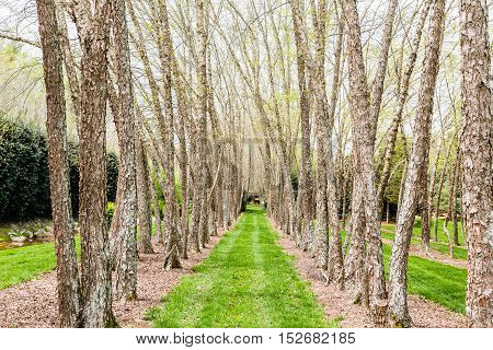 LIne of River Birches along Grassy Lane