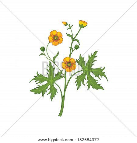 Buttercup Wild Flower Hand Drawn Detailed Illustration. Plant Realistic Artistic Drawing Isolated On White Background.