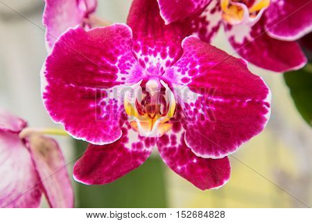 Orchid flowers (Orchidáceae) close-up. Purple Orchid flowers.