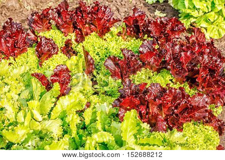 green and red lettuce growing in the garden on summer closeup