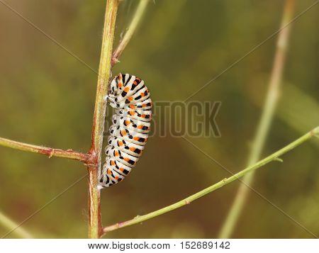 Catterpillar of Papilio machaon nearing its final days as a caterpillar.