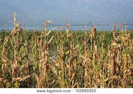Dry yellow reed and small lake in a beautiful sunny day