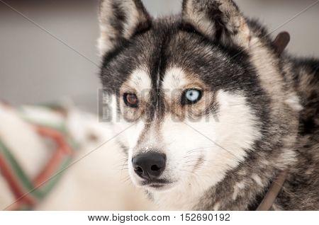 Husky Dog Portrait
