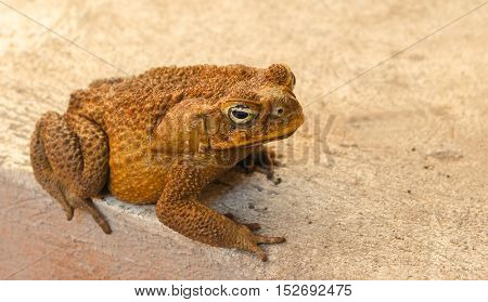Large toad on grey background. Brown frog at the concrete backyard. Frozen animal amphibian close-up photo. Mimicry ability in wild nature. Exotic fauna in tropical climate. Wildlife near human house