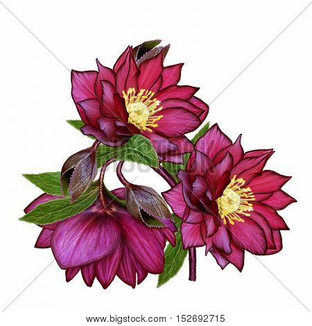 Branch flower hellebore Christmas rose flower Christmas composition burgundy red flower. Isolated on white background.