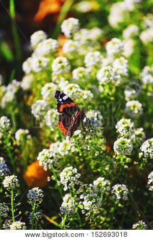 Beautiful red admiral butterfly close up on floral background.