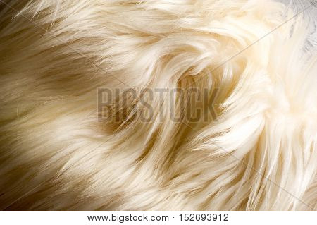 Texture, Background. Fur Yak White Coat Female. The Feel, Appearance, Or Consistency Of A Surface Or