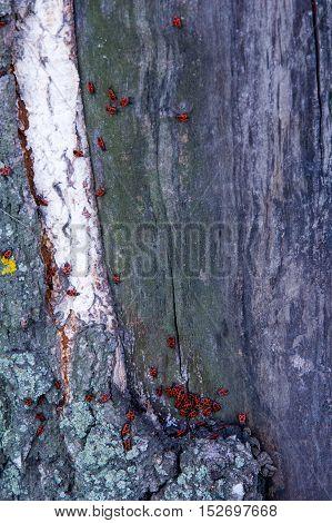 Texture, Pattern, Background.birch Tree Bark Old