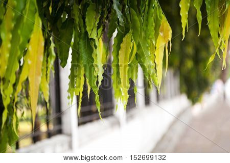 Colorful willow leaves hanging above the road. Green and yellow tree branch foliage against white blurry background