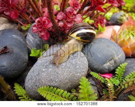 Freshwater garden snail slug slowly crawls on the rock closeup