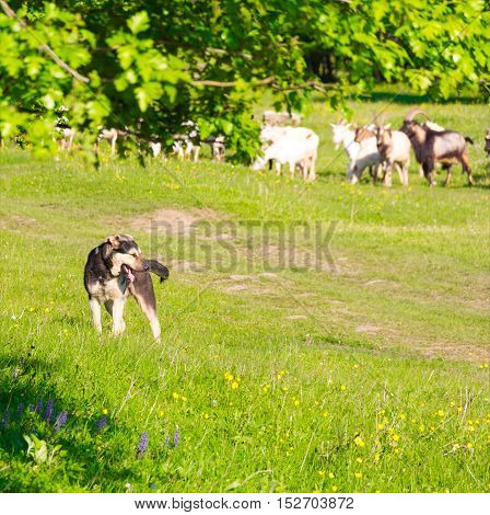 a watchdog guards a herd of goats to pasture selective focus