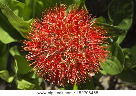 Red tropical flower on natural background. Exotic floral element in the garden. Bloom plant growing under sun. Summer travel photo of asian flora. Nature in hot climate. Spherical flower on green