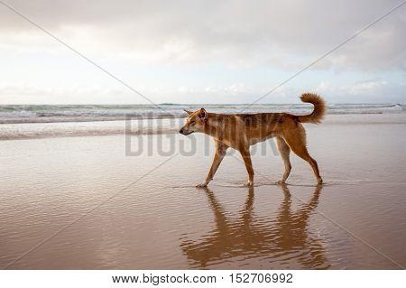 An Australian dingo on the Fraser Island