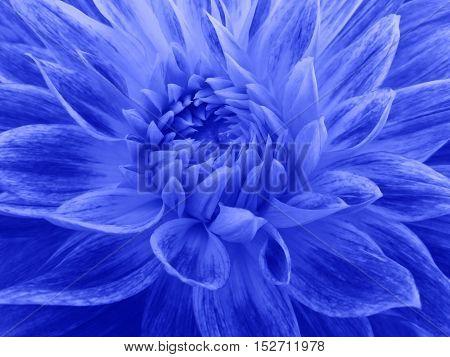 dahlia flower blue Closeup. Macro. Nature. beautiful dahlia.