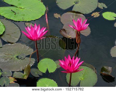 Pink Water lilies next to a Buddhist temple, Sri Lanka