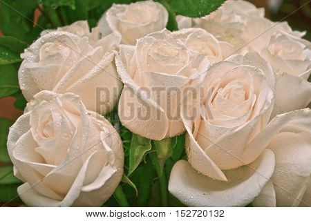 Beautiful white roses with drops background nature