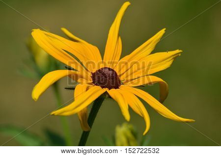 Pretty brown-eyed Susan flower in bloom in a garden