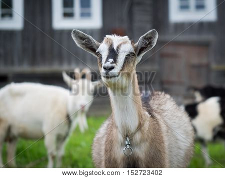 Portrait of a smiling goat on a background of an old village house.