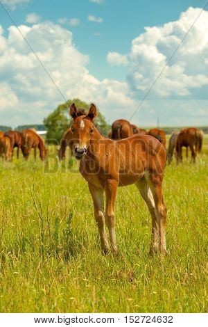 Young Stallion On The Green Meadow