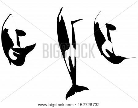 three killer whales jumping, Orcinus Orca, while jumping. Isolated on white background.
