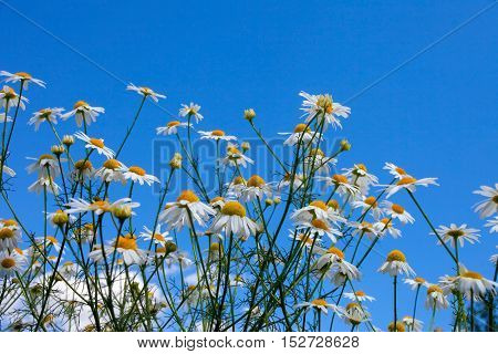 Beautiful White Daisies And Blue Sky