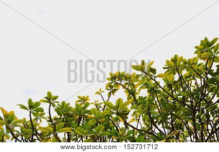 leaves of green tree on sky white background