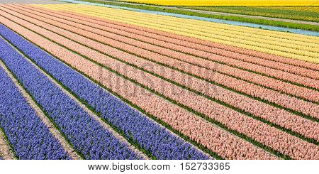 Long and colorful flower beds with blooming hyacinths in the field of specialized bulb grower on a sunny spring day in the bulb region of the Netherlands.