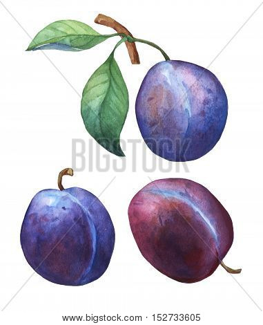 Set with three whole plum. Hand drawn watercolor painting on white background.