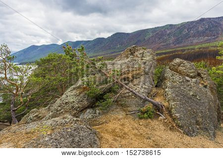 Young pine tree growing on top of a mountain, fighting for his life in the harsh climatic conditions of Siberia.