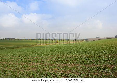Green Canola Crop