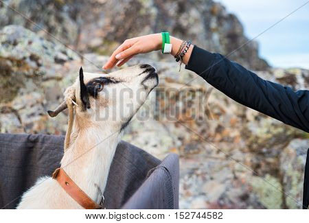 Girl hand that stroked the goat during celebration of Almossassa in Marvao Portugal