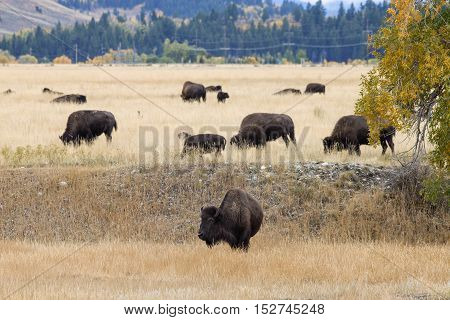 Bison in the Grand Teton National Park