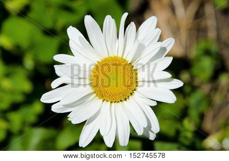 Camomile flower-white used in medicine and for decorative purposes.