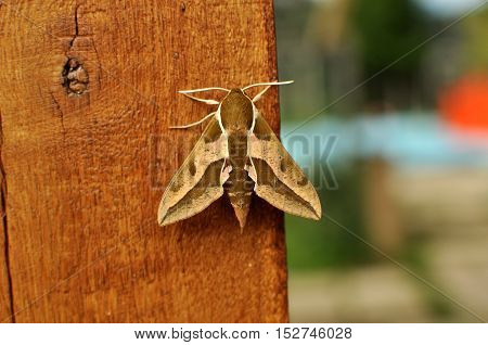 Spurge Hawk-moth (Hyles euphorbiae) on the fance