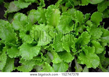 Lettuce leaves covered with drops of dew .